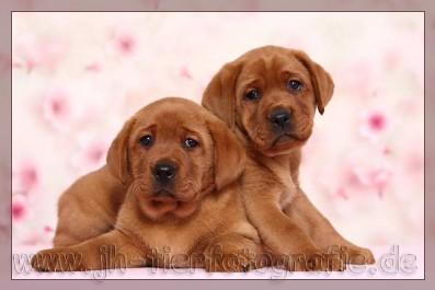 Labrador Retriever Von Fichtenberg Labrador Retriever Von Fichtenberg